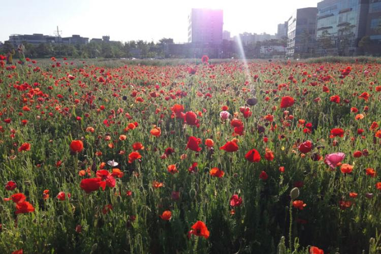 Oriental poppies are in full bloom in Pyeongtaek in May 2020.