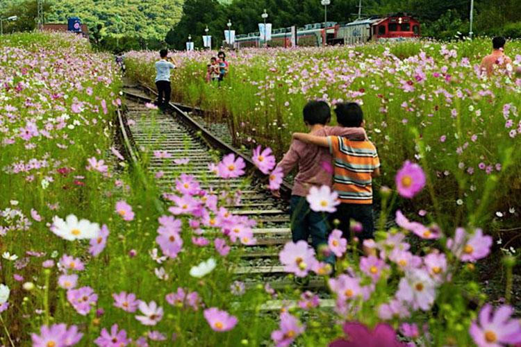 Image: Hadong Bukcheon Cosmos and Buckwheat Festival website