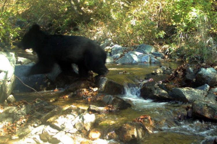 A rare Asiatic black bear cub has been photographed while crossing a stream in the Korean Demilitarized Zone. COURTESY OF SOUTH KOREA'S MINISTRY OF ENVIRONMENT