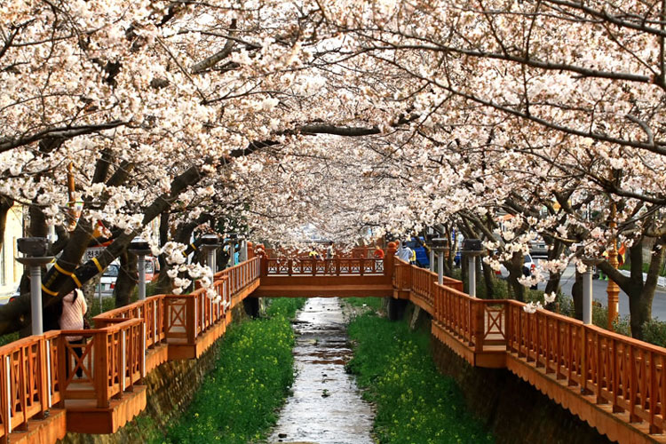 Flower Time The Annual Bloom Of Cherry Blossoms Comes Earlier This Year Stripes Korea